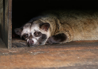 Close up of a Luwak, also called Asian palm civet resting in the shade on a Kopi Luwak coffee plantation in Indonesia