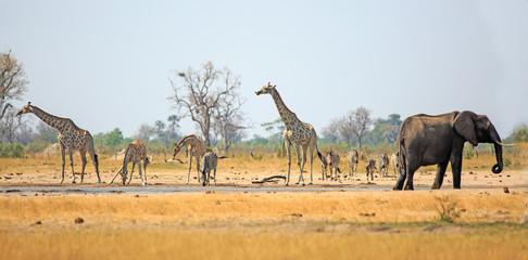Photo sur Plexiglas Girafe Beautiful African scene with Giraffes, Zebra and Elephant drinking from a waterhole in Hwange National Park, with a natural blue sky and bushveld background.