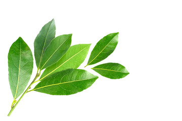 An overhead photo of bay leaves, green laurel twig and two leaves. Bay branch isolated on white. Place for text, copyspace. Wall mural