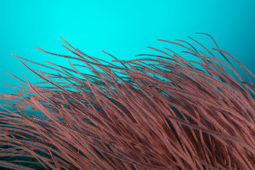 Large red whip coral in big blue