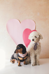 Poodle and dachshund sitting in front of a wall