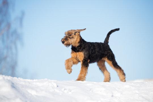 airedale terrier puppy walking in winter