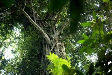 Big banyan tree and roots growing in forest, the nature plant and bark, beautiful roots tree.