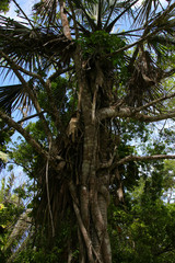 Kohunlich, Maya Ruins, Old Tree, Aerial Roots