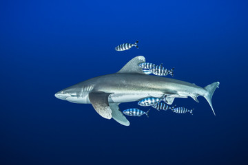 Oceanic whitetip shark with pilot fish, Red Sea, Egypt