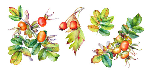 Collection of watercolor illustrations of the rosehip branches with leaves and berries