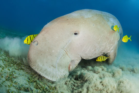 Dugong surrounded by yellow pilot fish