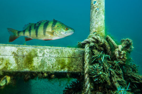 European perch, a common freshwater fish in Germany