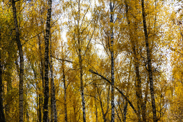 young birch trees with yellow autumn leaves on a background cloudy sky