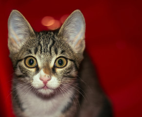 Portrait of a young and smart cat. A small kitten playing climbed into the red box which served as a good background.
