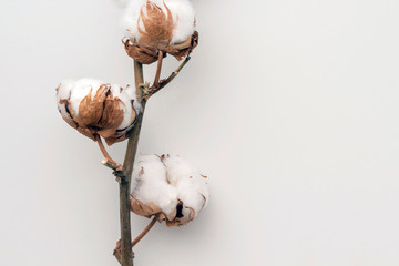 Dried white fluffy cotton flower on white background, close up, copy space, top view