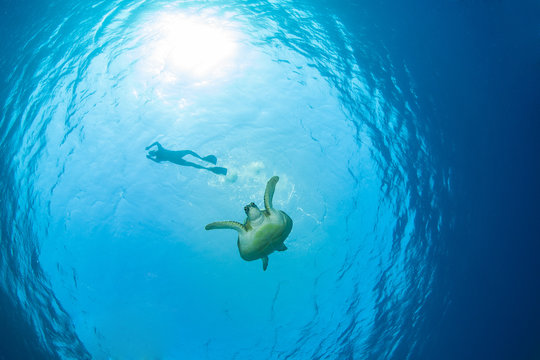 Green sea turtle with a snorkeller