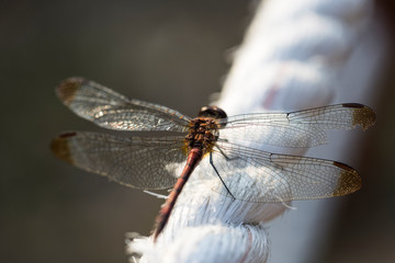 dragonfly perched on rope.
