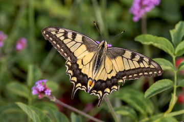 Butterfly Swallowtail (Papilio machaon) on wild plant