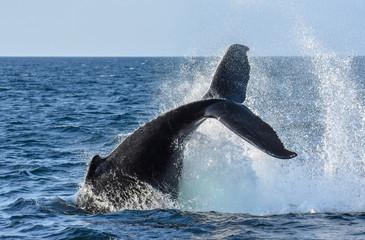 Humpback Whale - Cape Cod Bay - Tail Smash