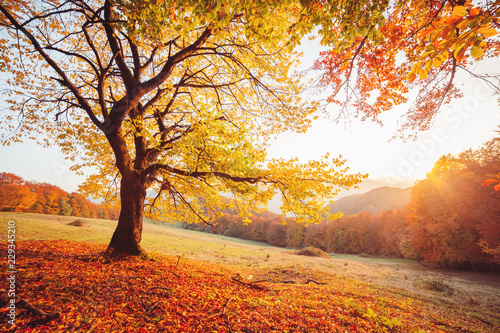 Wall mural Awesome image of the autumn beech tree.