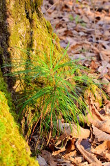 Young cedar under the auspices of an old oak tree. A small young tree grew in the roots of an old tree covered with moss. Far Eastern cedar. Close up. Autumn.