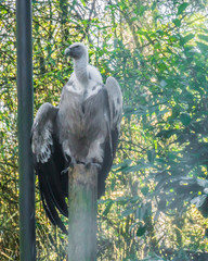 Garden Poster Napels griffon vulture sitting on a pole in close up with one wing open