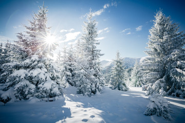 Scenic image of spruces tree in sunlight.