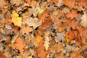 Carpet of fallen autumn leaves on grass. Beautiful colorful leaves in autumn forest. Red, orange, yellow, green and brown autumn leaves. Maple, hazel and oak dry foliage.