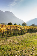 Wall Mural - vineyard in golden fall colors with silhouettes of mountains behind