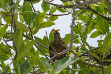 Quiscalus mexicanus, Female, Feed, Belize