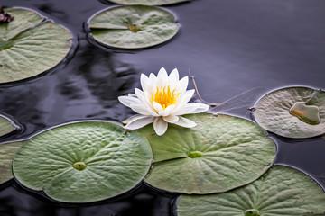 Wild pond lily flower