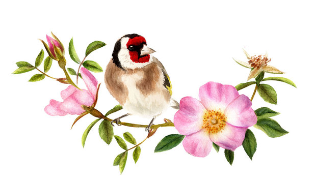 Goldfinch on a wild rose branch. Hand drawn watercolor