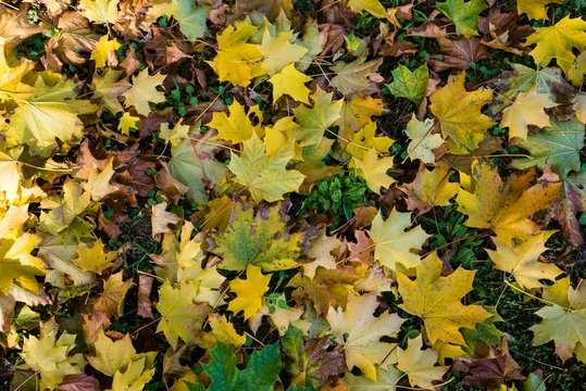 Colorful fallen autumn leaves on the ground as natural background