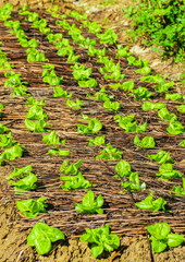 Food background. Green sprouts of chinese cabbage closeup on a garden bed in rural garden, Vietnam.