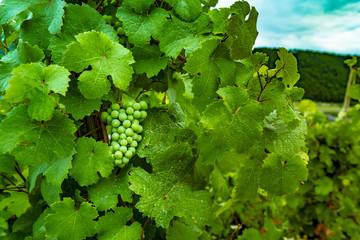 Fresh Green grapes on vine. Summer sun lights.