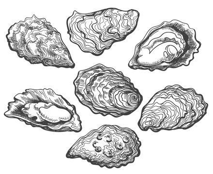Oysters. Oyster shell vector set, hand drawn fresh oysters isolated on white background for cooked delicacies or delicacy food decor