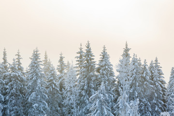 Frost on the spruce trees in forest