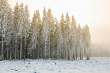 Spruce forest in a cutting area in the winter