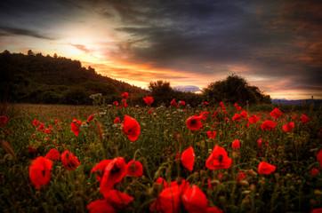 Keuken foto achterwand Chocoladebruin Poppies at sunset