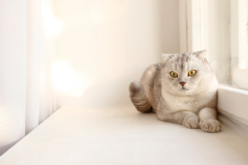 Cute scottish Fold breed cat with yellow eyes lying by the window at home, sunny day view. Soft fluffy purebred short hair lop-eared kitty on windowsill. Background, copy space, close up.