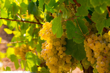 White grapes on branch on vineyard