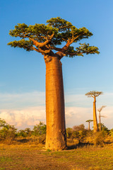 Keuken foto achterwand Baobab Beautiful Baobab trees at sunset at the avenue of the baobabs in Madagascar
