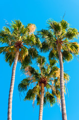 Three palm trees against a blue sky, Kauai, Hawaii, USA. Copy space for text. Vertical.
