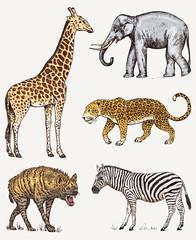 Set of African animals. Elephant Giraffe Leopard Hyena Wild zebra. Engraved hand drawn Vintage old monochrome safari sketch. Vector illustration.