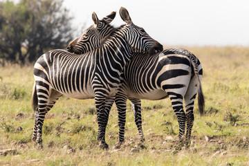 Printed kitchen splashbacks Zebra Two mountain zebra in africa