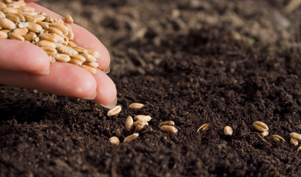 sowing wheat by hand in home garden