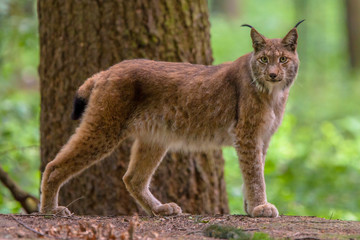 Photo sur Toile Lynx Eurasian lynx in forest habitat