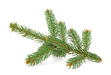 Christmas tree fir branch isolated on white background