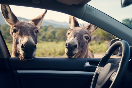 Two funny donkeys looikng to the car