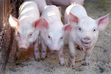 little cute pigs on the farm.