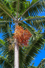 palm tree (Montgomery) with red and yellow fruit cluster