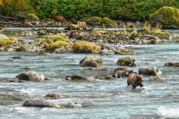 Wild grizzly bears, a sow with three cubs, hunting salmon in a river