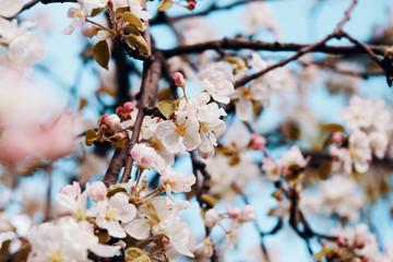 Photo of apple blossom. Spring, sunshine, happiness