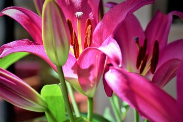 Purple Lily flowers.